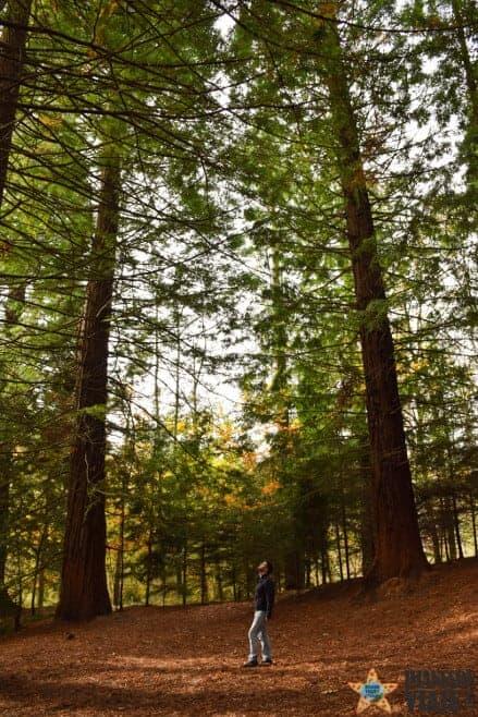 bosque secuoyas cantabria cabezon de la sal 10