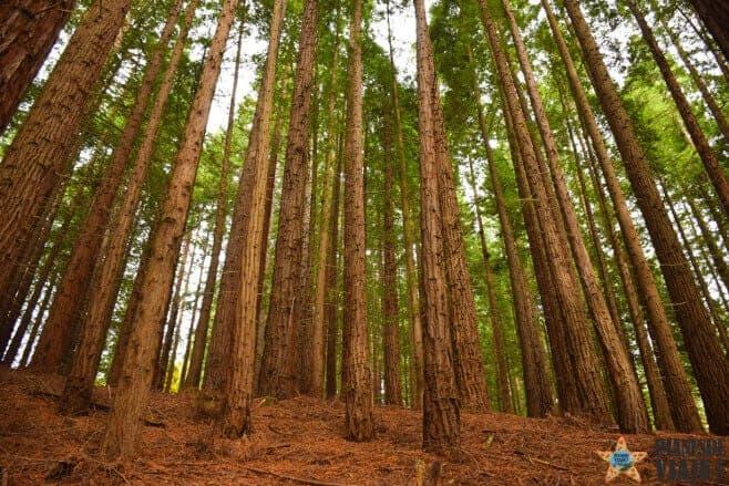 bosque secuoyas cantabria cabezon de la sal 3